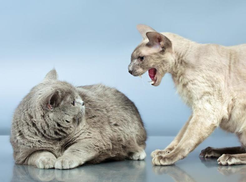 Agresja u kota nie zawsze wynika ze złego wychowania. Zazwyczaj oznacza chroniczny ból. Jak pomóc naszemu pupilowi?
