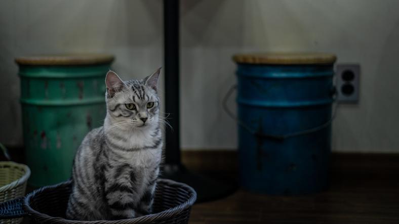 Kot wychodzący, czy niewychodzący? Co jest zdrowsze i bezpieczniejsze?